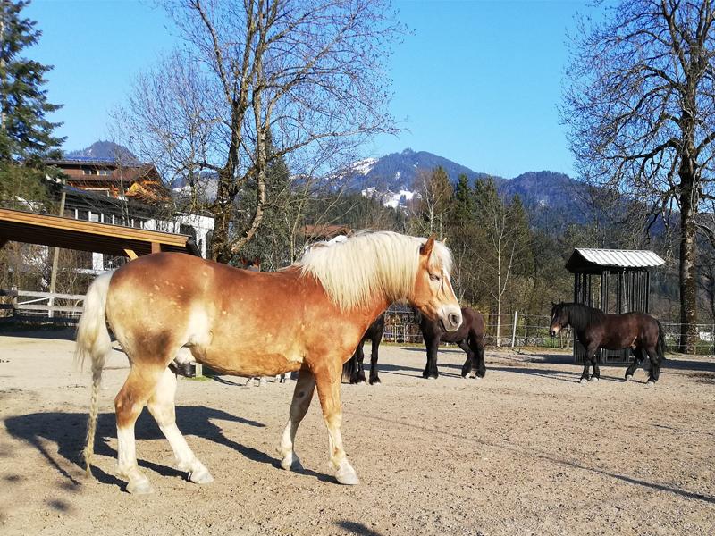 Die Pferde genießen die Sonne